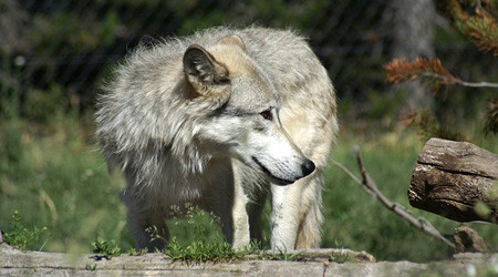 prometheus untersuchung l uft toter wolf aus schluchsee geborgen verletzungen festgestellt. Black Bedroom Furniture Sets. Home Design Ideas